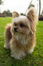 Fluffy mixed breed dog with brown fur in green garden Stock Images