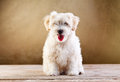 Fluffy pet - small dog sitting Royalty Free Stock Photo