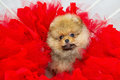 Fluffy puppy with flowers highbred spitz in red deco tissue Stock Images