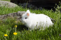 Fluffy rabbit white and walks on a green grass Royalty Free Stock Photo