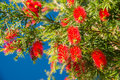 Fluffy red bumps abloom bottlebrush tree image was shot on november in santana madeira Stock Image