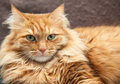 Fluffy red cat close up of an brown background Royalty Free Stock Photo