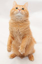 Fluffy red cat standing on hind legs white background Royalty Free Stock Images