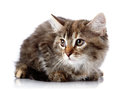 Fluffy scared cat on a white background with brown eyes striped not purebred kitten kitten small predator small Stock Photography
