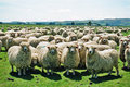 Fluffy Sheep Royalty Free Stock Photo