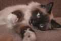 Fluffy siamese cat lying on sofa with blue eyes indoor Royalty Free Stock Images