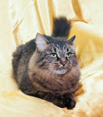 Fluffy siberian cat is sadly looking away on gold background Royalty Free Stock Image