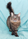 Fluffy siberian cat worth sticking his tongue out on green background Stock Image