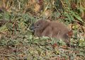 Fluffy Skua Chick Amongst Greater Burnet Plants