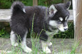Fluffy and Slightly Damp Alusky Puppy with a Curled Tail Royalty Free Stock Photo
