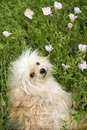 Fluffy small dog in flower field. Stock Image