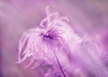 Fluffy softness flower and sun rays Royalty Free Stock Images