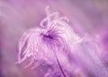Fluffy - softness flower Royalty Free Stock Photo