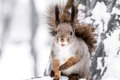 Red squirrel with a bushy tail sits on tree and eats nuts in the snow