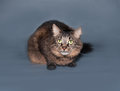 Fluffy striped siberian cat lies on gray background Royalty Free Stock Photos