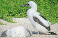 Fluffy white blue-footed booby chick Stock Photos