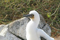 Fluffy white blue-footed booby chick Stock Image