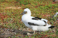 Fluffy white blue-footed booby chick Stock Images