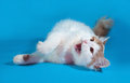 Fluffy white cat with red spots lying on blue Royalty Free Stock Photo