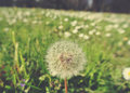 Fluffy white dandelion in green field in spring; retro style