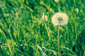 Fluffy white dandelion with seeds high resolution photo in best quality Royalty Free Stock Photography