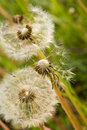Fluffy white dandelions Stock Photo
