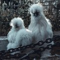 Fluffy white silkie farm chicken, looking fabulous Royalty Free Stock Photo