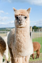 Fluffy young Alpaca Royalty Free Stock Photo