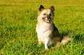 Fluffy young dog in the meadow Royalty Free Stock Photography