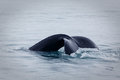 Fluke or tail of humpback whale ending breach megaptera novaeangliae slapping the water at end in alaska waters Royalty Free Stock Photos