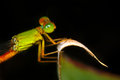 Fluorescent damselfly a in black background Stock Photography