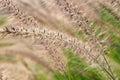 Flutter grass in boonrawd farm in chiangrai thailand Royalty Free Stock Photo