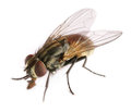 Royalty Free Stock Photo Fly