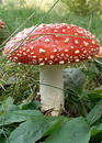 Fly-agaric 2 Stock Images