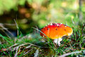 Fly agaric Royalty Free Stock Photography