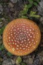 Fly-agaric Royalty Free Stock Photography