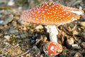 Fly agaric Royalty Free Stock Photos