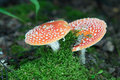 Fly agaric, amanita, dangerous poison mushroom. In forest Royalty Free Stock Photo