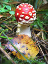 Fly agaric (Amanita muscaria) Royalty Free Stock Photography