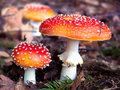 Fly agaric . Royalty Free Stock Photo