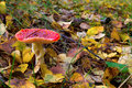 Fly agaric in autumn forest of fallen leaves Royalty Free Stock Photo