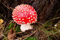 Fly agaric death cap Royalty Free Stock Images