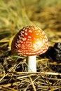 Fly agaric in the forest Stock Photos