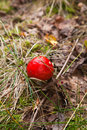 Fly agaric gowing on the forest floor Royalty Free Stock Images
