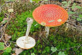 Fly Agaric mushroom Stock Photography