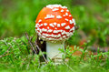 Fly agaric mushroom in a forest Royalty Free Stock Photography