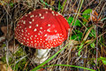 Fly agaric mushroom grows in forest Stock Images