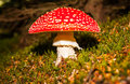 Fly agaric mushroom image of the Stock Image