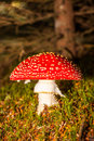 Fly agaric mushroom image of the Royalty Free Stock Images