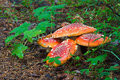 Fly Agaric Mushrooms Royalty Free Stock Photos